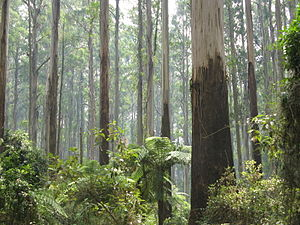 Ferntree Gully, Victoria - Sherbrooke Forest