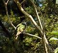 Shining cuckoo resting.jpg