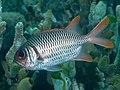 Shoulderbar soldierfish (Myripristis kuntee) (32673500187).jpg