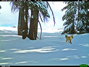 Sierra Nevada red fox - Sierra Nevada red fox makes first reappearance in Yosemite in nearly 100 years.