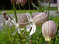 SileneVulgaris-bloem.jpg