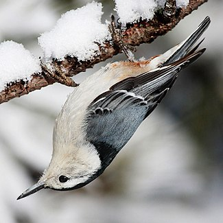 a White-breasted Nuthatch upside down on a branch.