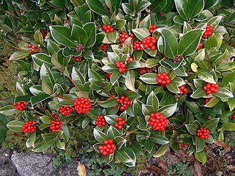 Skimmia - Skimmia with berries