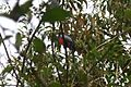 Slaty-tailed Trogon male (5569351499).jpg