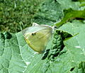 Small White Butterflies on Pumpkin Leaf.jpg