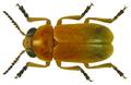 Smaragdina immaculata Lacordaire, 1848 (8234848519).png