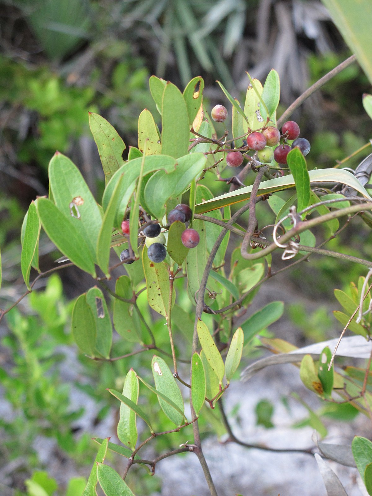 Smilax Laurifolia Wikipedia