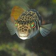 Smooth Toadfish-Tetractenos glaber