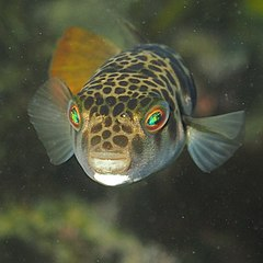 Smooth Toadfish-Tetractenos glaber.JPG