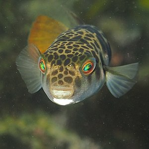 Smooth toadfish - Image: Smooth Toadfish Tetractenos glaber