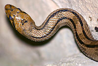 Snake (Elaphe scalaris) by JM Rosier.JPG
