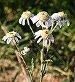 Sneezewort (Achillea ptarmica).jpg