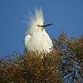 Snowy Egret (4631173455).jpg