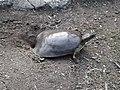 Softshell turtle laying eggs.jpg