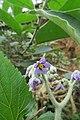 Solanum mauritianum - Wild tobacco tree - at Ooty 2014 (9).jpg