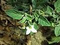 Solanum villosum subsp. alatum sl53.jpg