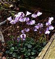 Soldanella alpina - Flickr - peganum.jpg