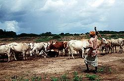 Tuoreet vihannekset, liha ja maito kuuluvat Somalian ruokakulttuuriin.