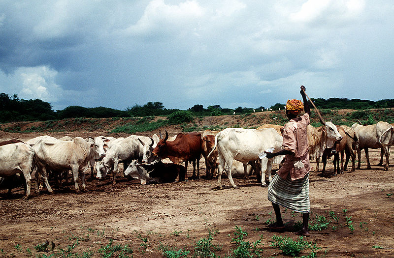 File:Somali cattle.JPG