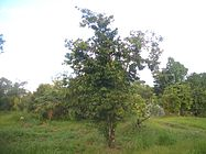 Soursop-tree-1480.jpg