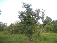 Soursop-tree-1480.jpg