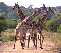 South African Giraffes, fighting