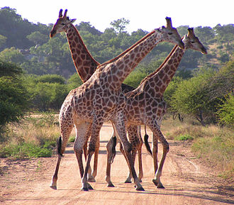 South African giraffes, Kruger National Park South African Giraffes, fighting.jpg