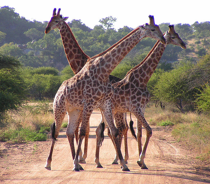 File:South African Giraffes, fighting.jpg