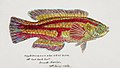 Southern Pacific fishes illustrations by F.E. Clarke 34.jpg