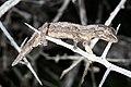 Southern Spiny-tailed Gecko (Strophurus intermedius) (9388207145).jpg