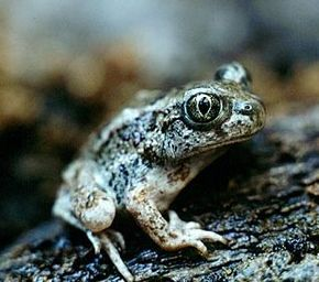 Description de l'image  Spadefoot pic.jpg.