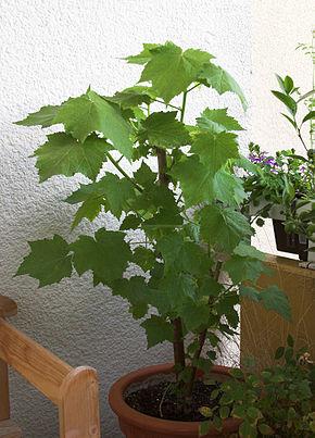 Sparrmannia wikip dia - Zimmerpflanzen liste ...