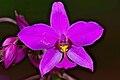 Spathoglottis plicata-Kadavoor-2015-08-22.jpg
