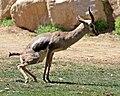 Speke's Gazelle (Gazella spekei) (5532395054).jpg
