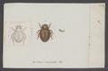 Spercheus - Print - Iconographia Zoologica - Special Collections University of Amsterdam - UBAINV0274 014 09 0003.tif