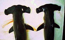 Tiburón  martillo festoneada (izquierda) y tiburón martillo lisa (derecha) difieren en la forma de la cabeza.