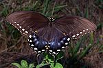 Spicebush Swallowtail in August