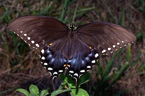 Description de l'image Spicebush Swallowtail in August.jpg.
