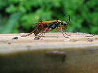 Spider Wasp 01.jpg