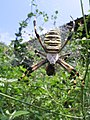 Spider on Pelion.jpg