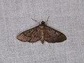 Spilomelinae sp. (27219465878).jpg