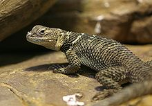 Spiny Lizard - Houston Zoo.jpg