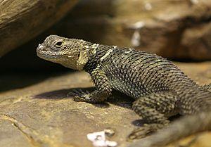 Spiny lizard - A spiny lizard at the Houston Zoo.