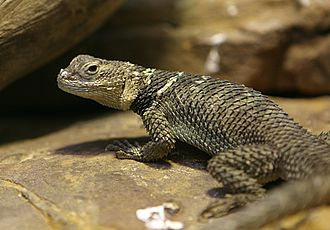 Spiny lizard - A spiny lizard at the Houston Zoo.