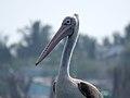 Spot-billed pelican IMG 6978.jpg
