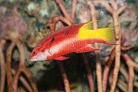Spotfin Hogfish (Bodianus pulchellus).jpg