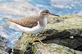 Spotted Sandpiper (non-breeding plumage) (32877802088).jpg