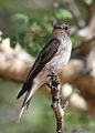 Spotted flycatcher, Muscicapa striata, at Marakele National Park, Limpopo, South Africa (16131763188).jpg