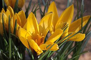 RHS Garden, Wisley - Image: Spring Crocus In Flower RHS Wisley Garden Surrey UK