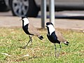 Spur-winged Lapwing - Spur-winged Plover (Vanellus spinosus).JPG